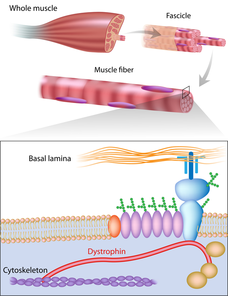 Researchers Study The Role of Dystrophin Related Proteins in Progression of Muscular Dystrophy Disease