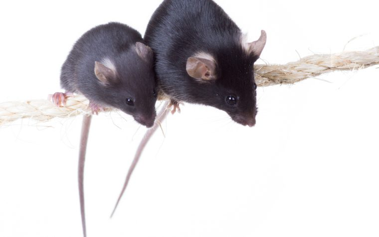 Combo Therapy Restores Muscle Function in Mice With Duchenne Muscular Dystrophy