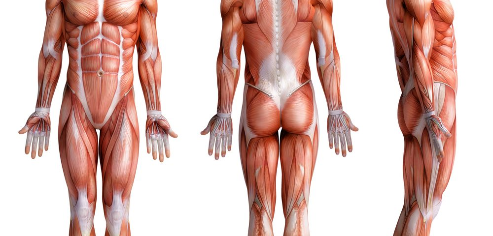 Why Muscles Don't Break: New Research Offers Possibilities for MD Therapies