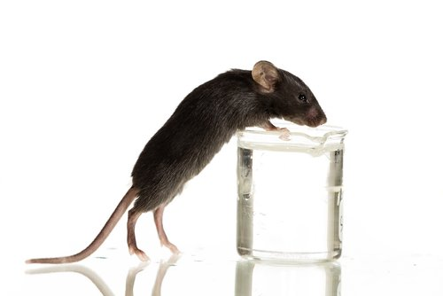 Investigational Therapy SR8278 Shown to Regenerate Muscle in DMD Mice Study